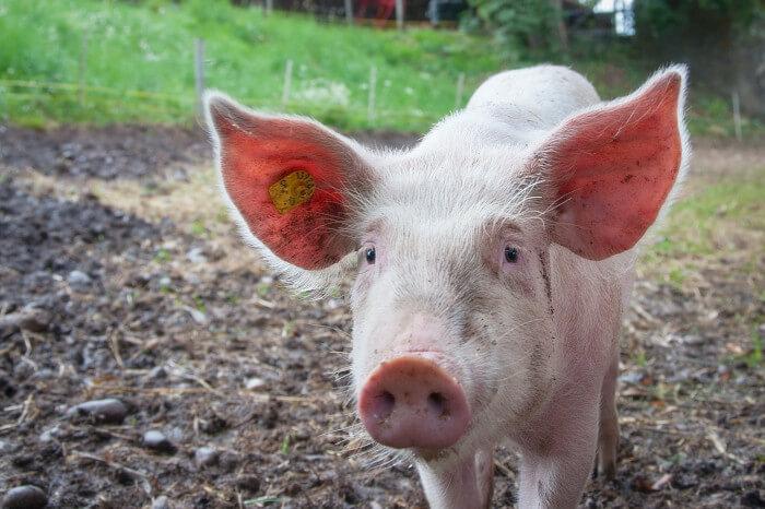 Schwein auf einer Wiese.